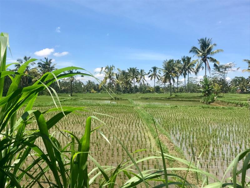 taro rice paddys bali