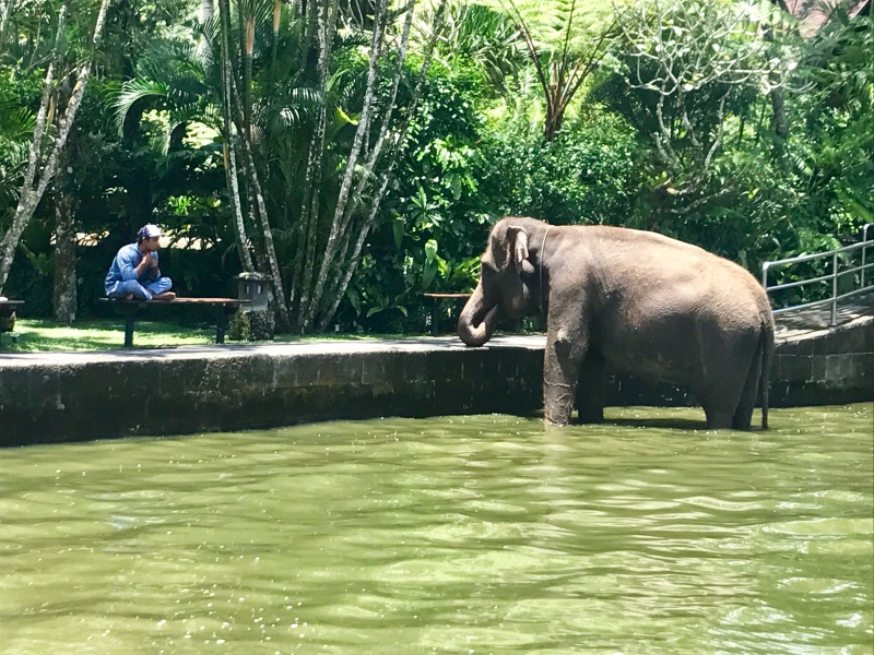 elephant bath taro bali elephant safari park