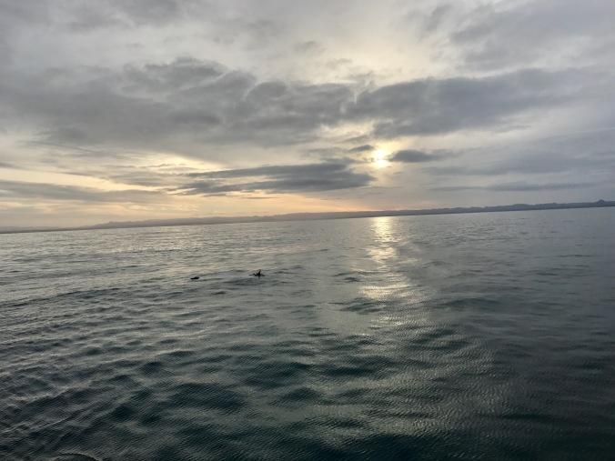 sunrise whale watching elding iceland dolphins